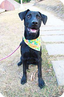 Labrador Retriever Mix Puppy for adoption in Castro Valley, California - Liza