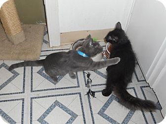 Domestic Shorthair Kitten for adoption in Brea, California - SKY