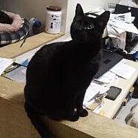 Domestic Shorthair Cat for adoption in Columbus, Ohio - Marcia