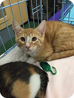 Domestic Mediumhair Kitten for adoption in Mansfield, Texas - Gater