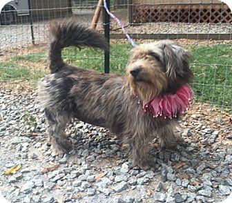 Wheaten Terrier/Shih Tzu Mix Dog for adoption in Media, Pennsylvania - JULIA