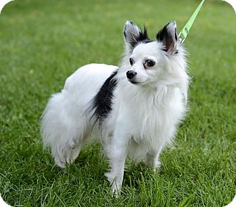 Chihuahua Dog for adoption in Midland, Michigan - Bullseye