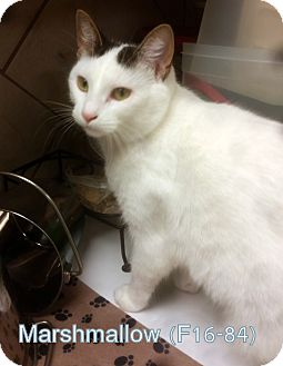 American Shorthair Cat for adoption in Tiffin, Ohio - Marshmallow