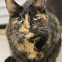 Adopt A Pet :: Eartha Kitt - Morgan Hill, CA