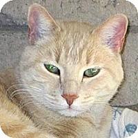 Domestic Shorthair Cat for adoption in Phoenix, Arizona - Romeo