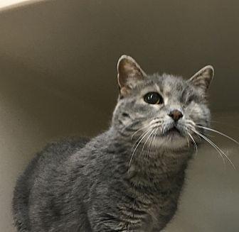 Domestic Shorthair Cat for adoption in Saylorsburg, Pennsylvania - Smokey
