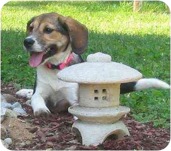 Beagle/Shepherd (Unknown Type) Mix Dog for adoption in Portland, Ontario - Nina