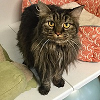 Domestic Longhair Cat for adoption in Greensburg, Pennsylvania - Duchess