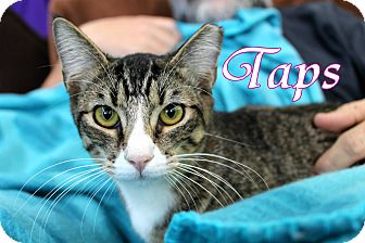 Domestic Shorthair Kitten for adoption in Wichita Falls, Texas - Taps
