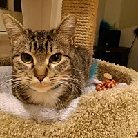 Domestic Shorthair Cat for adoption in Los Angeles, California - Bella