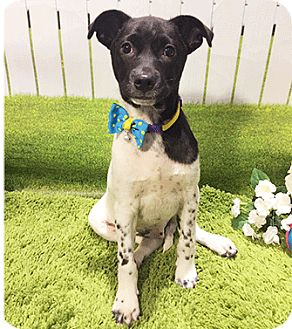 Labrador Retriever Mix Puppy for adoption in Castro Valley, California - Chef