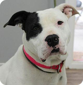 Bulldog Mix Dog for adoption in Harrisonburg, Virginia - Abigail (TIA)