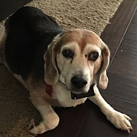 Adopt A Pet :: Maggie - Chesterfield, MO