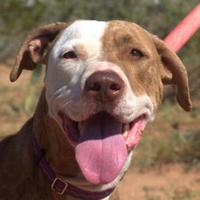 Adopt A Pet :: Amber - Las Cruces, NM