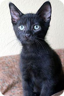 Domestic Shorthair Kitten for adoption in El Cajon, California - Charlie