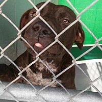Adopt A Pet :: Dusk - Waycross, GA
