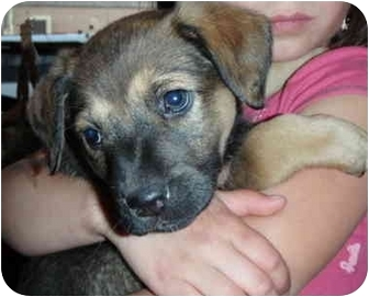 Shepherd (Unknown Type) Mix Puppy for adoption in Kellogg, Idaho - Heidi