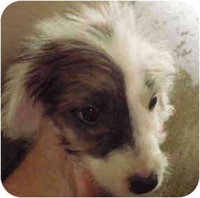 Australian Shepherd Mix Puppy for adoption in San Clemente, California - RUBY