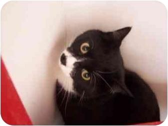Domestic Shorthair Cat for adoption in El Cajon, California - Kitler