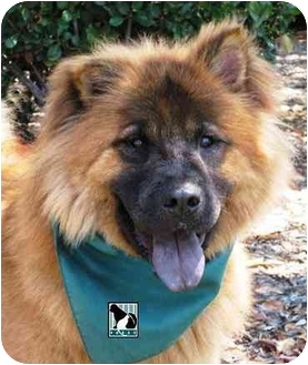 Chow Chow Dog for adoption in San Diego, California - Rufus