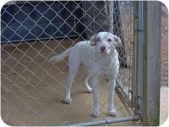 Australian Shepherd/Australian Cattle Dog Mix Dog for adoption in Cairo, Georgia - Captain