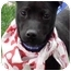 Photo 1 - Whippet/Patterdale Terrier (Fell Terrier) Mix Puppy for adoption in Sacramento, California - Lindy cute