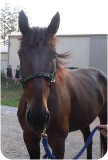 Standardbred for adoption in Dewey, Illinois - Kasey