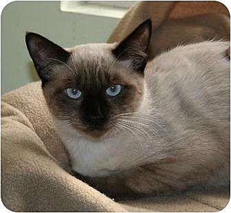 Siamese Cat for adoption in Houston, Texas - Taizo
