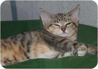 Domestic Shorthair Kitten for adoption in Gardnerville, Nevada - Olive