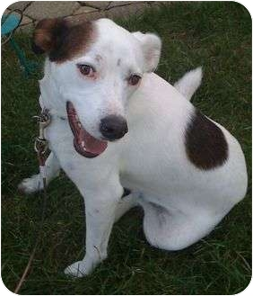 Labrador Retriever Mix Dog for adoption in Staunton, Virginia - Anubis
