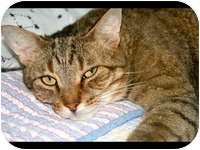 Domestic Shorthair Cat for adoption in Tampa, Florida - Bob