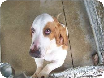 Basset Hound Dog for adoption in Anderson, Indiana - Gatsby