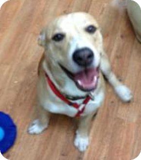 Corgi/Pit Bull Terrier Mix Dog for adoption in Thousand Palms, California - Hank