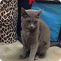 Adopt A Pet :: Sheena - St. Louis, MO