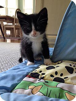 Domestic Shorthair Kitten for adoption in Media, Pennsylvania - Winston