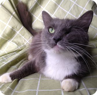 Ragdoll Cat for adoption in Harrisburg, North Carolina - Lovie