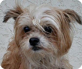 Yorkie, Yorkshire Terrier/Poodle (Miniature) Mix Dog for adoption in Boulder, Colorado - Cinder-ADOPTION PENDING!