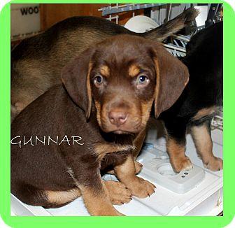 Spaniel (Unknown Type)/Retriever (Unknown Type) Mix Puppy for adoption in Minneapolis, Minnesota - Gunnar