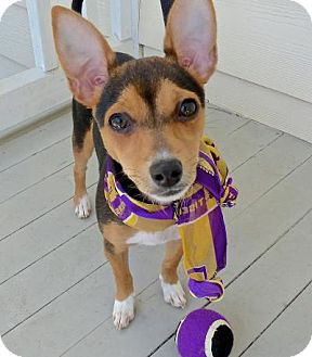 Chihuahua/Terrier (Unknown Type, Small) Mix Dog for adoption in Baton Rouge, Louisiana - Pixie