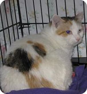 Calico Cat for adoption in Mineral, Virginia - Marge