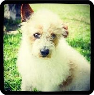Jack Russell Terrier/Poodle (Toy or Tea Cup) Mix Dog for adoption in Grand Bay, Alabama - Banks