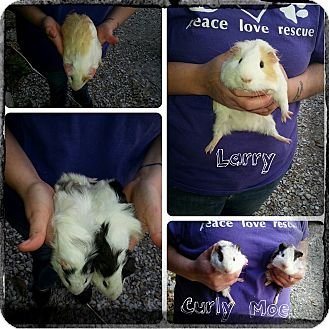 Guinea Pig for adoption in Franklin, Indiana - Larry