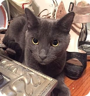 Russian Blue Cat for adoption in Long Beach, New York - Raven