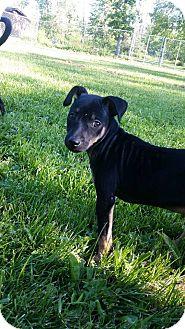 Miniature Pinscher/Chihuahua Mix Puppy for adoption in China, Michigan - Angus