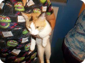 Domestic Shorthair Cat for adoption in Rapid City, South Dakota - Gabby