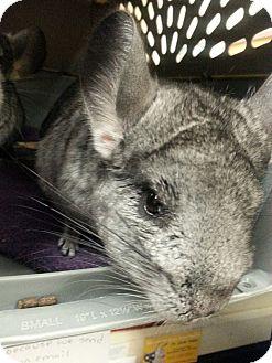 Chinchilla for adoption in Lindenhurst, New York - Claire