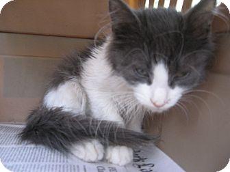Maine Coon Kitten for adoption in New york, New York - Moonlight