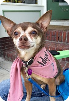 Chihuahua Mix Dog for adoption in kennebunkport, Maine - Minky - in Maine