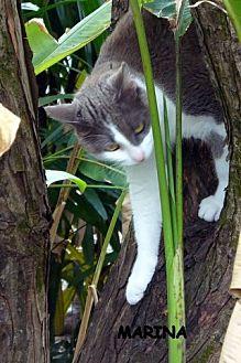 Domestic Shorthair Cat for adoption in Naples, Florida - Marina
