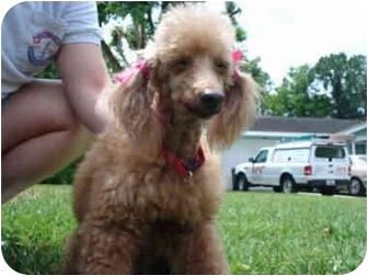 Poodle (Miniature) Dog for adoption in Melbourne, Florida - GINGER RAE